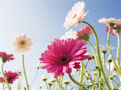 fotos para fondo de pantalla flores solo fondos de pantalla gt flores