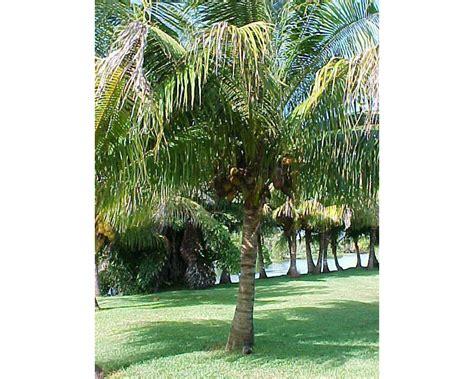 palme nane da giardino palme cycas cocos come curare le piante esotiche