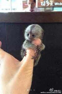 this adorable thumb sized monkey is on sale in china