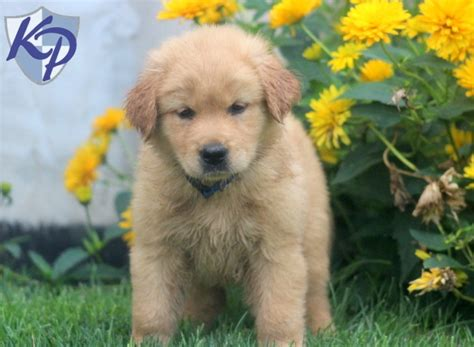 dachshund mixed with golden retriever for sale golden retriever dachshund mix for sale in pa dogs in our photo