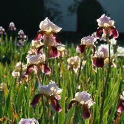 schwertlilie pflege schwertlilien iris pflege pflanzen und tipps mein