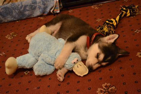 husky puppy sleeping husky pup sleeping aww