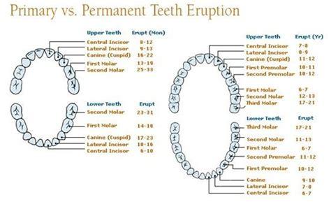 Dentist Vs Mba by 1000 Ideas About Dental Anatomy On Dental