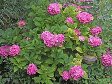 Hortensien Arten Und Sorten 3161 by Hydrangea Macrophylla
