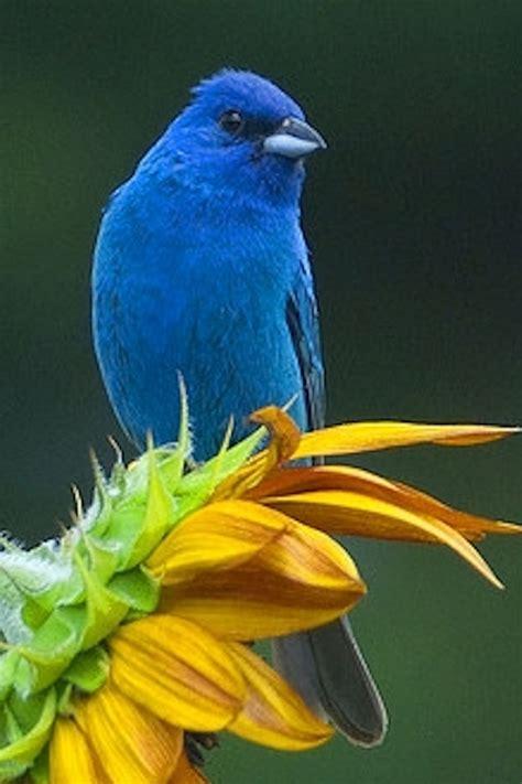 166 best images about indigo bunting on pinterest indigo