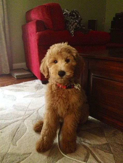 goldendoodle haircut pictures goldendoodle dogs cute animals pinterest