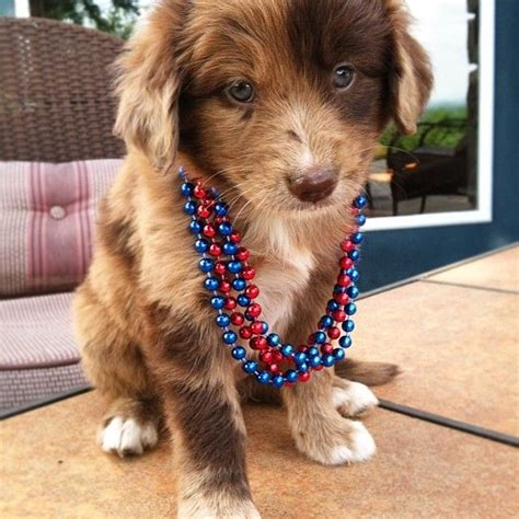australian shepherd x golden retriever best 25 australian shepherd mix ideas on australian shepherd