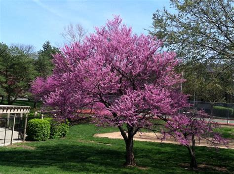 best type of tree for dogwood among trees the best shade tolerant types are