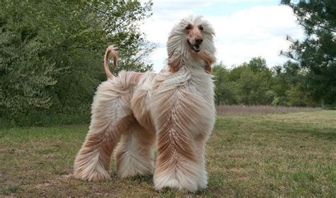 afghan breeds afghan hound breed guide learn about the afghan hound