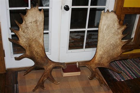 Moose Shed Antlers For Sale 3x3 wooden shed must see shed builder