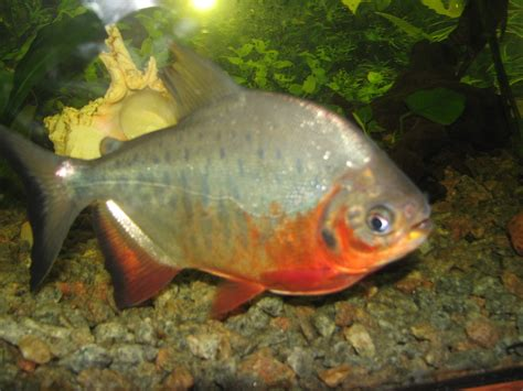 amazon fish file red pacu jpg wikimedia commons