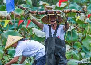 Villagers 3 Lotus Villagers Celebrate Harvest Of Lotus Roots China Org Cn