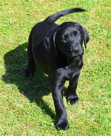black lab puppies for sale in colorado black labrador puppy for sale abergele conwy pets4homes