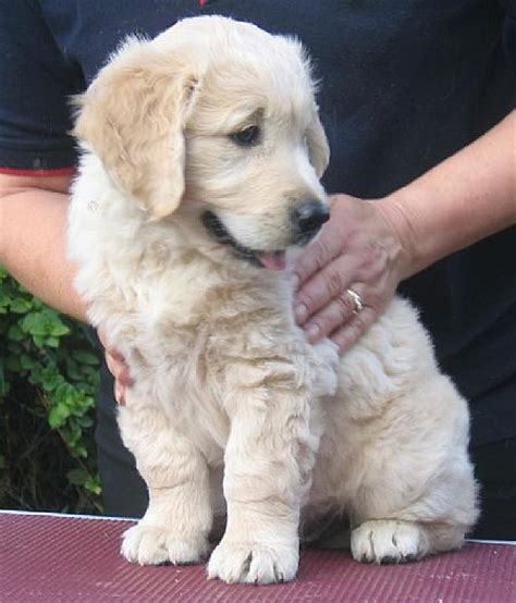 7 week golden retriever puppies haydengold golden retrievers