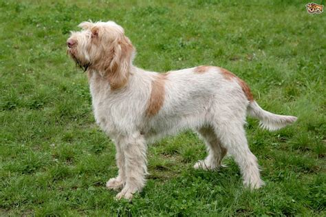 puppy in italian italian spinone breed information buying advice photos and facts pets4homes