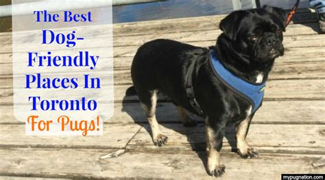 toronto pug rescue the best friendly places in toronto for pugs mypugnation