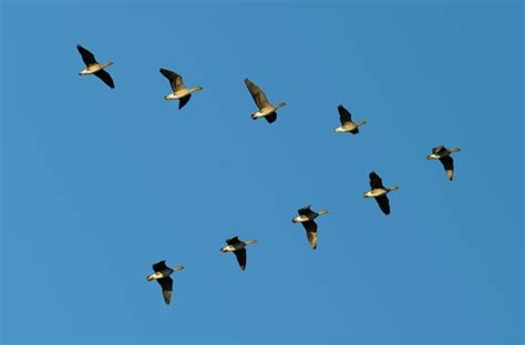 migrating birds take turns leading the flock seeker