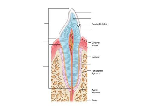 longitudinal section of canine tooth purposegames
