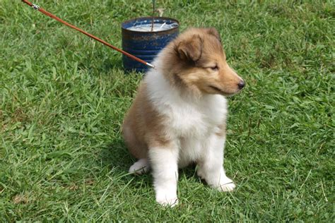 collie puppies for sale collies for sale in maine myideasbedroom