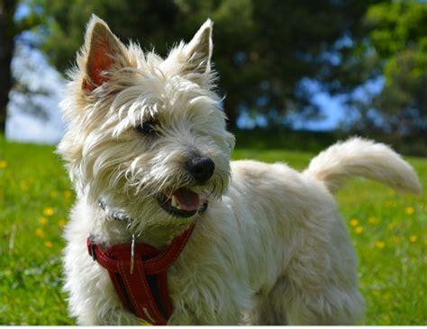 best small breeds small terrier goldenacresdogs