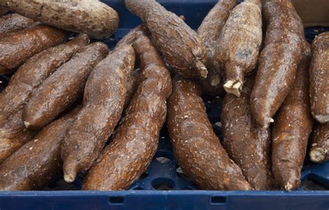 yucca root vegetable yucca root in a blue bin at haymarket square clippix etc