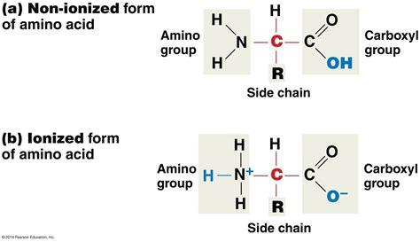 diagram of amino acid 1 at creighton studyblue
