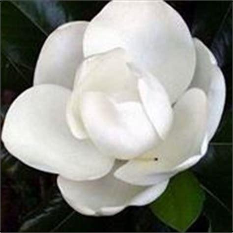 albero con fiori bianchi albero di magnolia alberi latifolie scopri l albero di