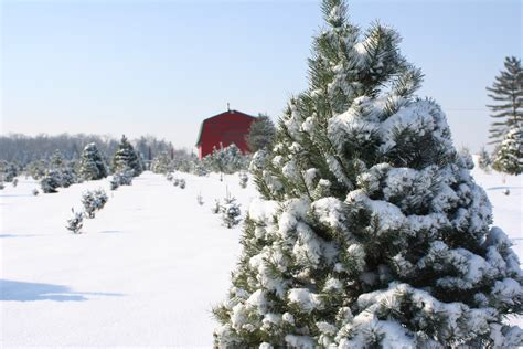 choose cut christmas trees young s jersey dairy