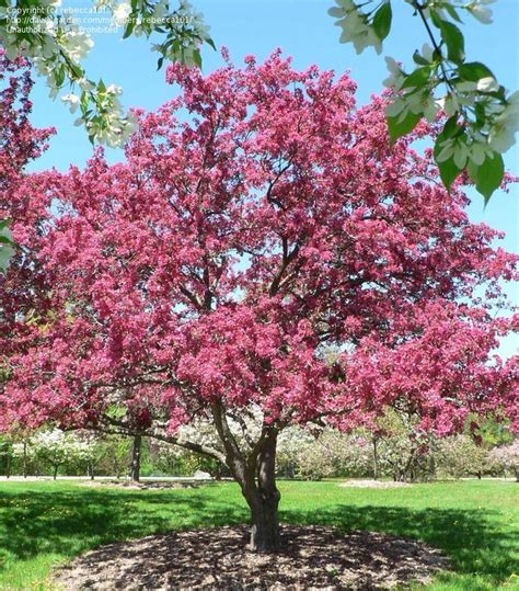 radiant flowering crabapple plantfiles picture 2 of flowering crabapple radiant malus