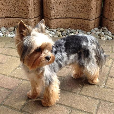 different color yorkies merle yorkie history buckmar terriers