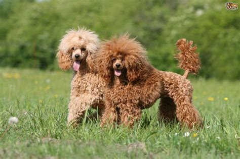 pictures of different types of poodles miniature poodle hereditary health and health testing