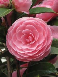 camellia alabama state flower close to home