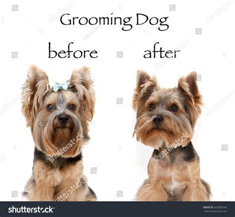 yorkie before and after grooming pin yorkie before grooming on