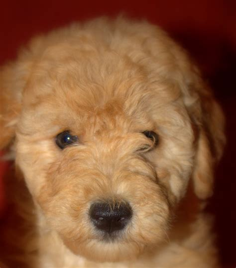 mini doodle michigan goldendoodle puppies for sale goldendoodle breeders