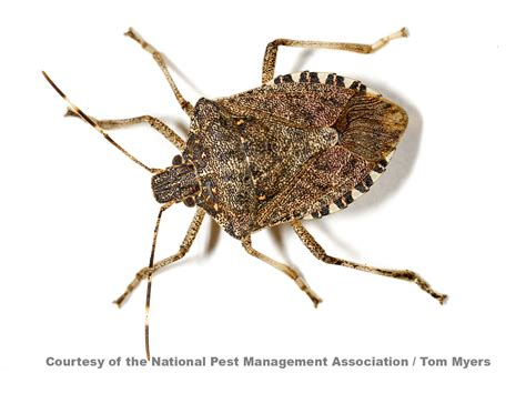 bed bug stink bug information identify exterminate stink bugs