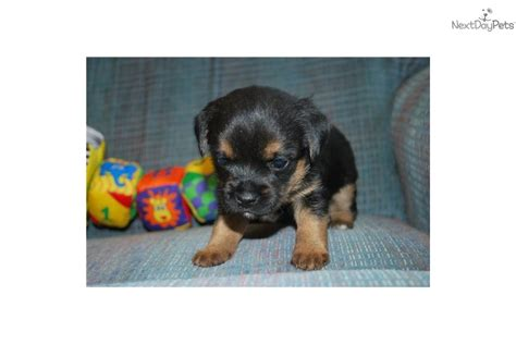 border terrier puppies for sale near me border terrier puppy for sale near helena montana aec7d6fc 4991