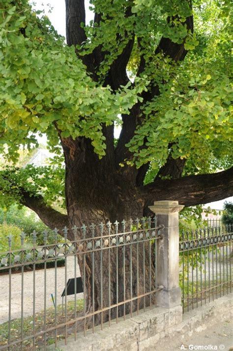 garten jena ginkgo im botanischen garten in jena th 252 ringen deutschland