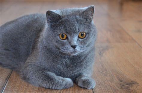 Blue Cat For shorthair