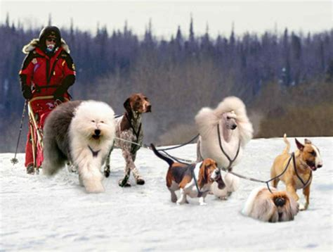 sled commands sled dogs ˁ ᴥ ˀ dogica 174 3d iditarod yukon inuit sled dogs breeds facts
