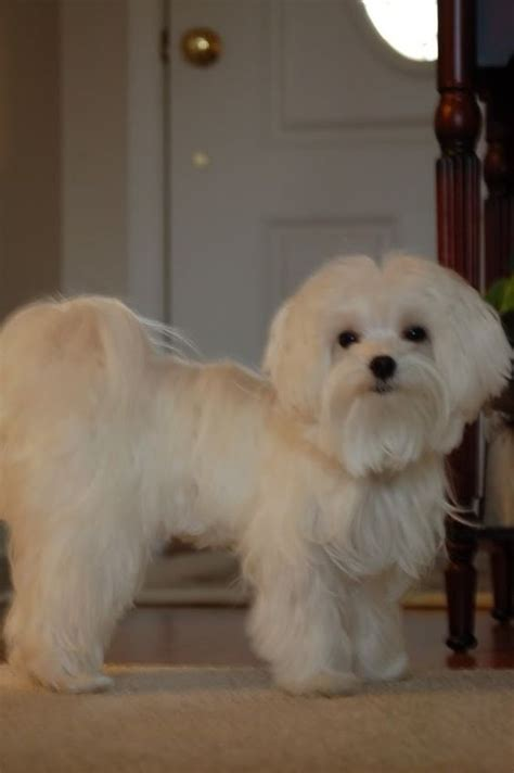 maltese dog cottony hair maltese puppy haircuts babies in their haircuts