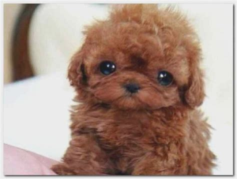 pomeranian that looks like a teddy 22 lessons that will teach you all you need to about