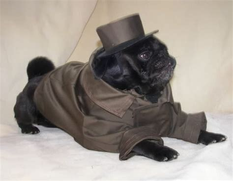 dapper pug 1000 images about pugs in costumes on