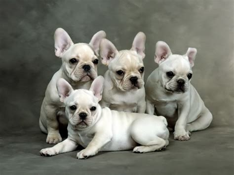 bulldog puppy breeders bulldog puppies bulldog puppies breeders