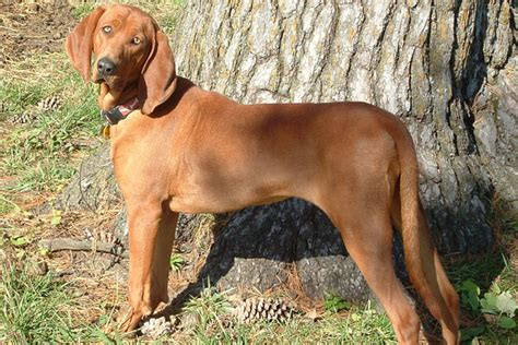 redbone puppies for sale redbone coonhound puppies for sale from reputable breeders