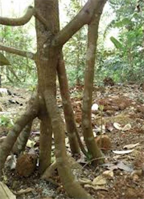 Pupuk Dolomit Untuk Durian cara menanam bibit durian bawor
