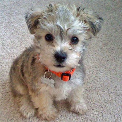 Poodle Mix Dog Hair Cut | best 20 yorkie hairstyles ideas on pinterest yorkie