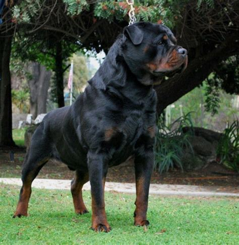 rottweiler puppies for sale in california german rottweiler puppies for sale edmonton alberta canada dogs puppies for