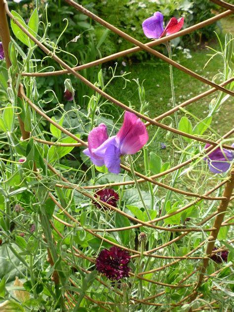 Sweet Peas On Trellis sweet pea trellis garden