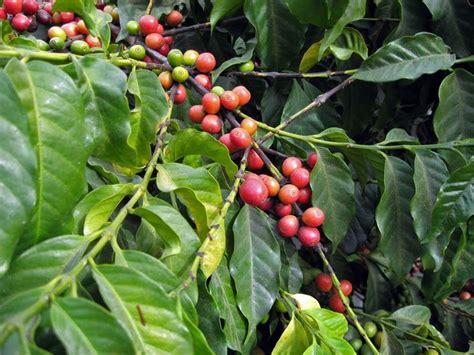 pianta di caffe in vaso il caff 232 piante da interno pianta caff 232