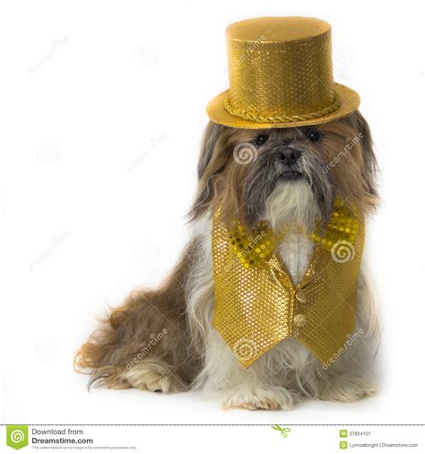 fancy shih tzu shih tzu in a gold fancy costume stock image image 27824101